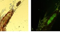 Tigriopus californicus copepod containing Pichia pastoris GFP yeast cells