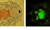Tigriopus californicus nauplius containing Pichia pastoris GFP yeast cells